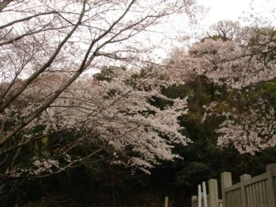 hatisuka sakura