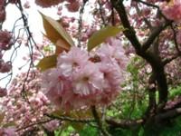 キューの桜