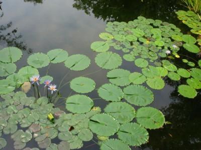 青い睡蓮の花