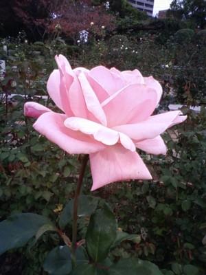 濃いピンクバラ