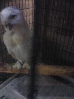 フクロウさん1