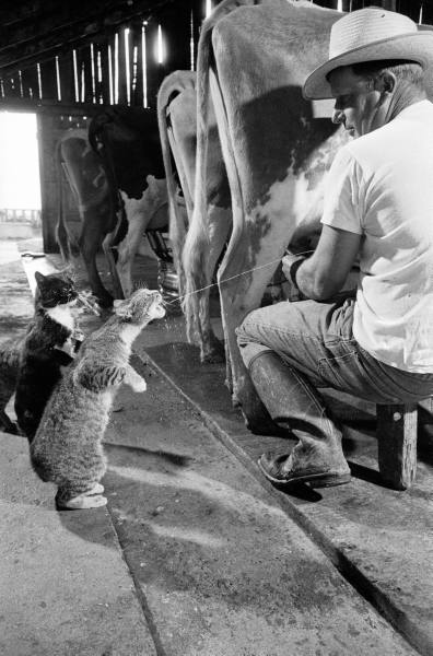 1954ca fresno Cats Blackie  Brownie (fore) catching squirts of milk during milking at Arch Badertschers dairy farm.