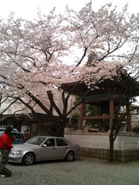 20090404善光寺桜