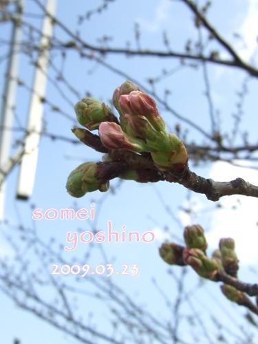 0323sakura_20090325015102.jpg