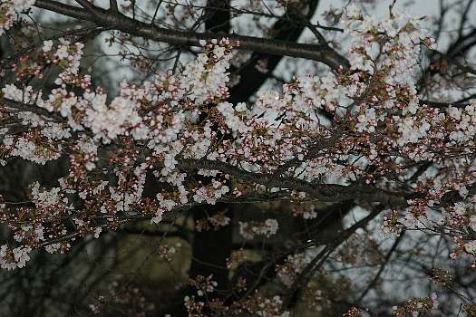五分咲き桜1
