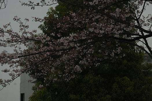 五分咲き桜2
