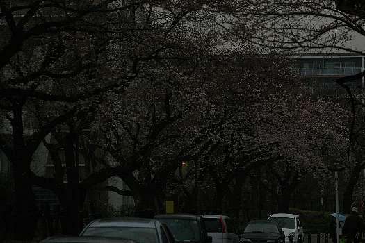 五分咲き桜3