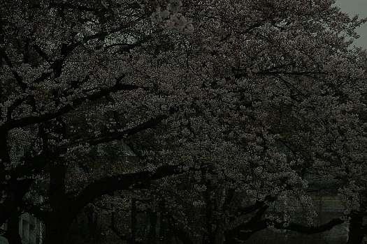 五分咲き桜4