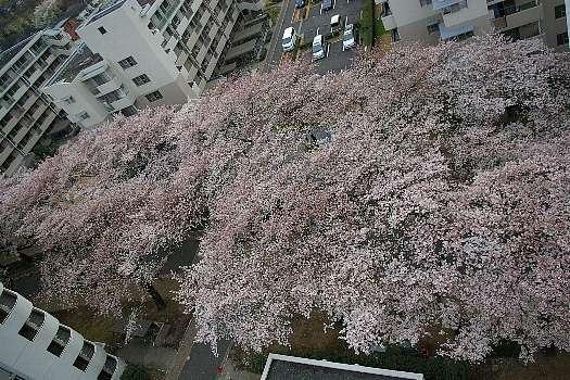 見下ろし桜4