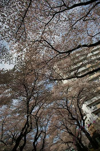 見上げる桜1