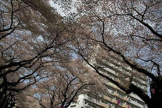 見上げる桜2