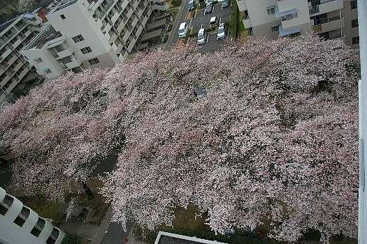 見下ろし桜5