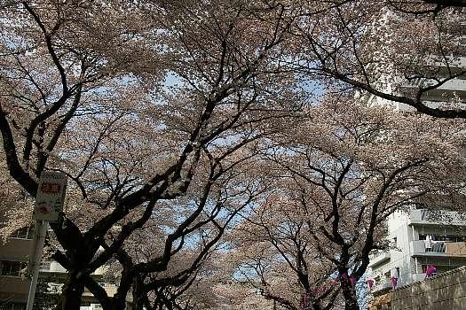 見上げる桜3