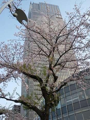 東京ミッドタウンの桜3