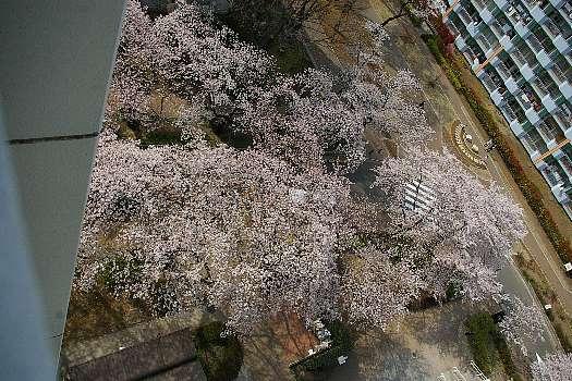 見下ろす桜A