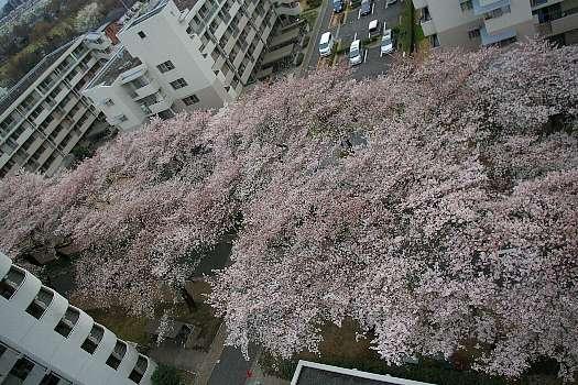 ベランダから見た満開の桜