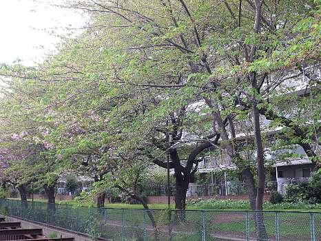 石神井川沿いの葉桜