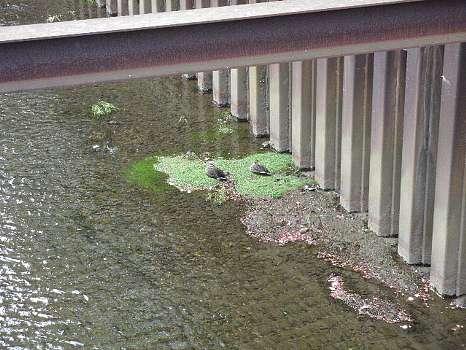 石神井川の鴨