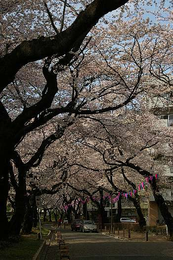 満開の桜並木2