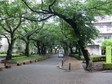 桜並木は青葉並木