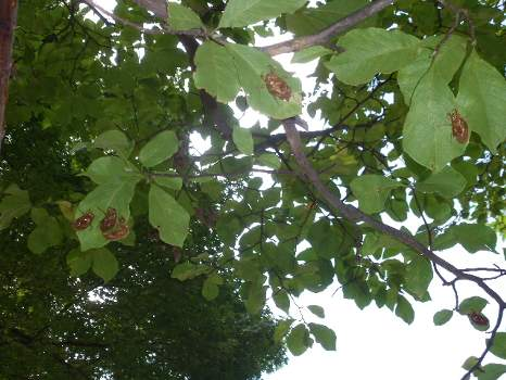 木の上の葉の裏に脱皮した蝉