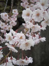 Blog 桜のはな