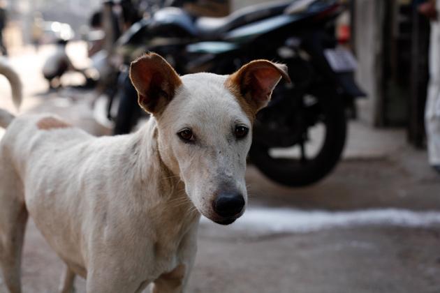 インドの犬3