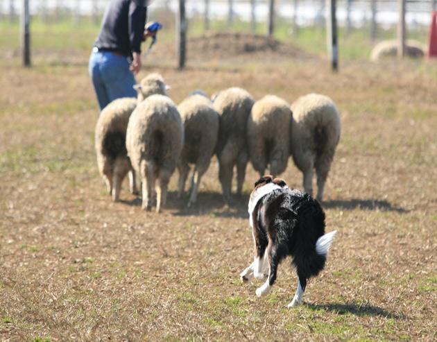 sheep1_20090715232702.jpg