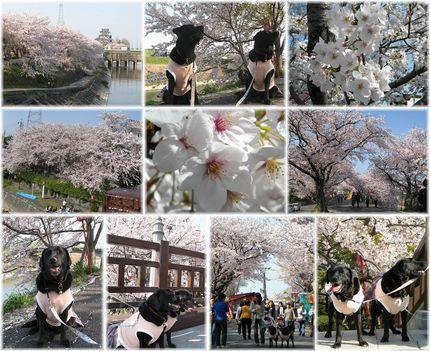 4-4 028 すのまた桜まつり