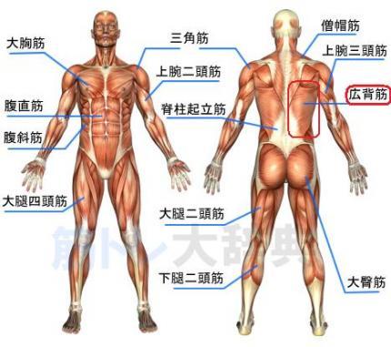 筋肉 広背筋
