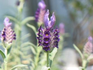 ラベンダー紫