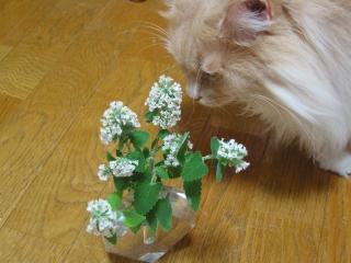 Moca キャットニップの花