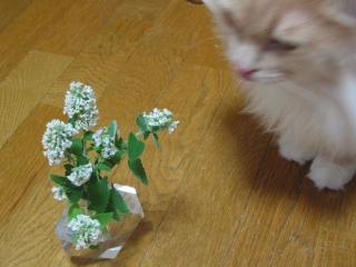 Moca キャットニップの花2
