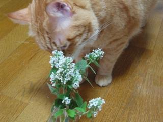 Kotetsu キャットニップの花