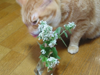 Kotetsu キャットニップの花2