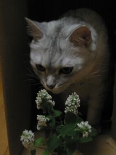 Mint キャットニップの花
