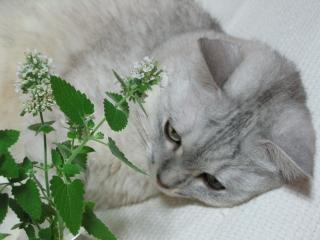 Mint キャットニップの花2