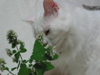 Jill キャットニップの花