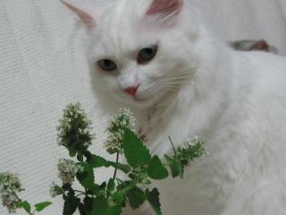 Jill キャットニップの花2