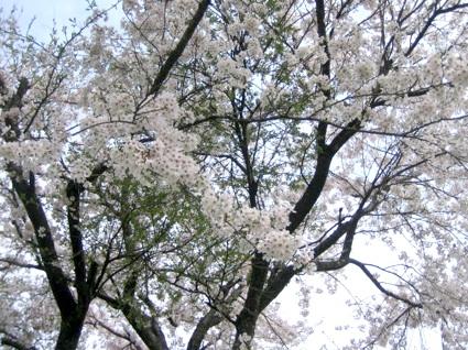 sakura2008.jpg