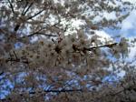 潮見の森公園で花見!