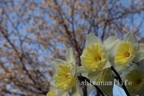 桜IMG_0668c