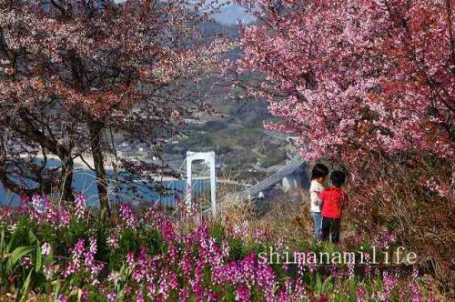 今治市大島カレイ山展望台の桜IMG_2362c