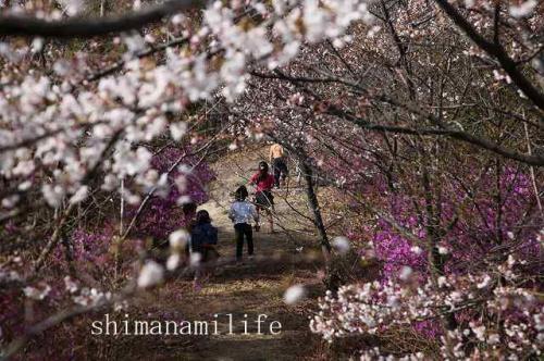 伯方町開山桜IMG_2533