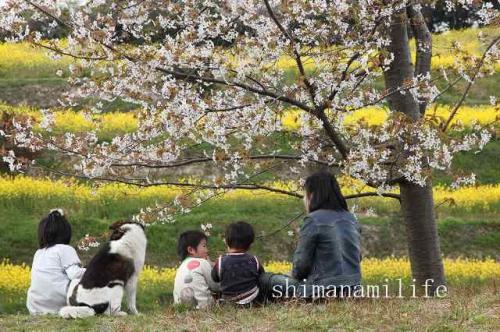 伯方町開山菜の花IMG_2712