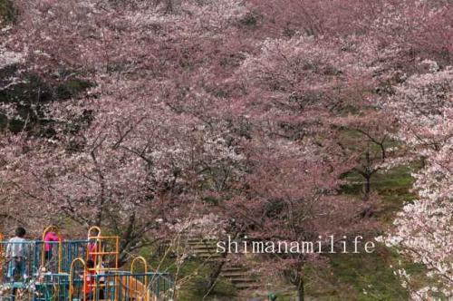 伯方町開山桜IMG_2555