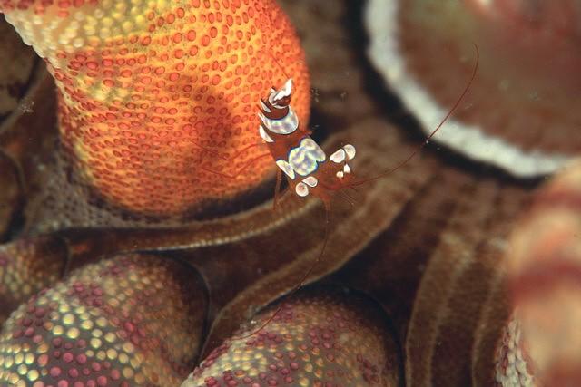 イソギンチャクモエビ1