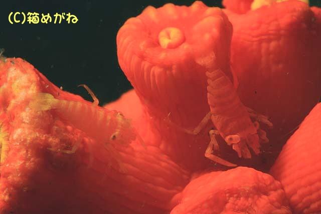 キサンゴカクレエビ