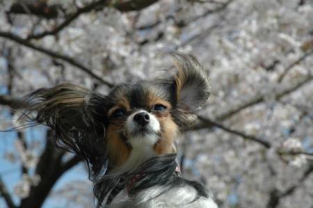 アリス~桜~