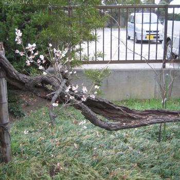 枯れ木に梅が咲いてる♪